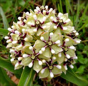 TexasWildflower