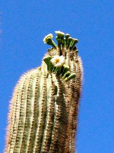 Saguarro flowers