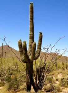 saguarro