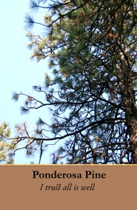 ponderosa-pine-copy